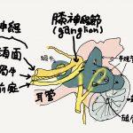 蝸牛前庭神経