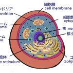 cell 細胞